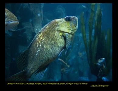QuillbackRockfish 61419c