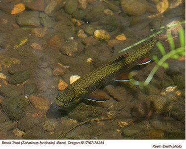 BrookTrout75254
