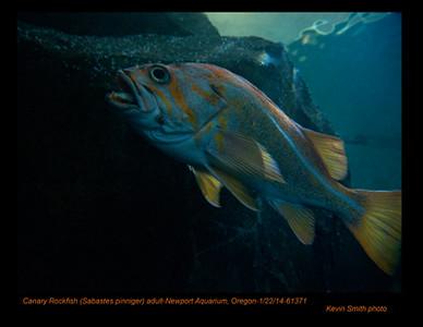 CanaryRockfish61371c