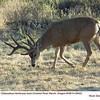 Mule Deer M29422