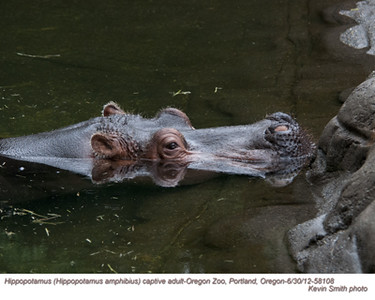 HippopotamusA58108