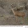 Mule Deer M26887