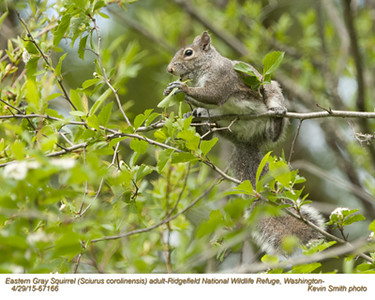 Eastern Gray Squirrel A67166