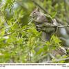 Eastern Gray Squirrel A67166