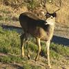 Mule Deer M26891
