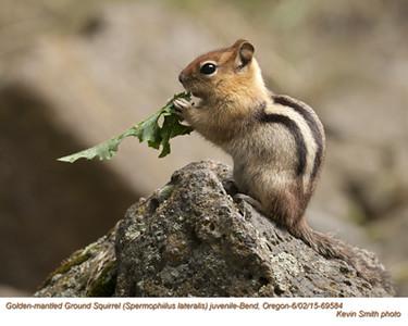 Golden-Mantled Ground Squirrel J69584