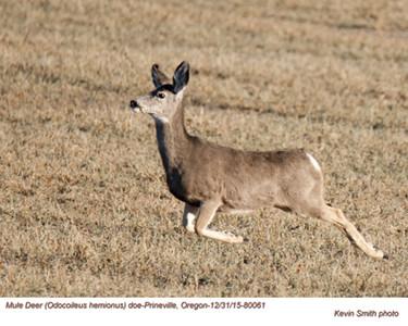 Mule Deer Doe 80061