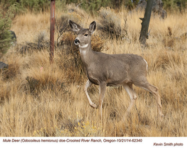 Mule Deer Doe 62340