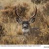 Mule Deer M62317