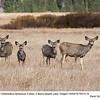 Mule Deer F&J76512,14