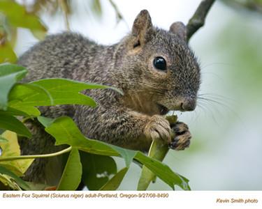 EasternFoxSquirrel8490