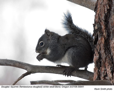 Douglas'Squirrel58941