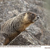 Yellow Bellied Marmot A21722
