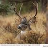 Mule Deer M62333