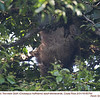 Hoffmann's Two-toed Sloth A85764