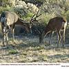 Mule Deer M29431