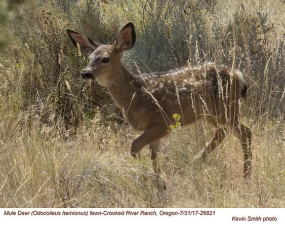 Mule Deer J26821