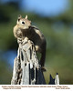 Golden-Mantled Ground Squirrel A20558