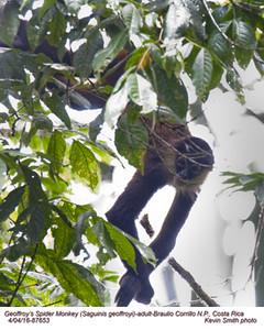 Geoffroy's Spider Monkey A87653