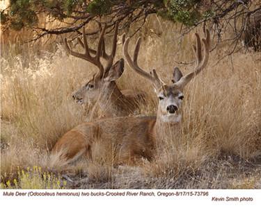 Mule Deer M73796