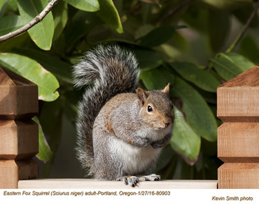 Eastern Fox Squirrel A80903