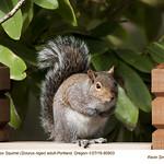 Eastern Fox Squirrel A80903