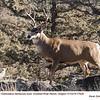 Mule Deer M77639