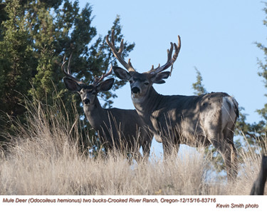 Mule Deer Bucks M83716