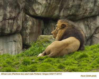 African Lion CM32112