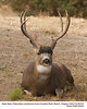 Mule Deer M62310
