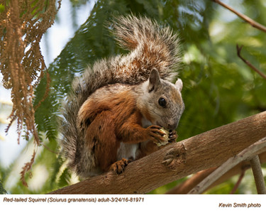 Red-tailed Squirrel A81971