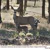 Mule Deer F&J70528