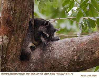 Northern Raccoon A84576