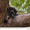 Northern Raccoon A84576