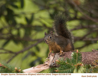 DouglasSquirrelA61146