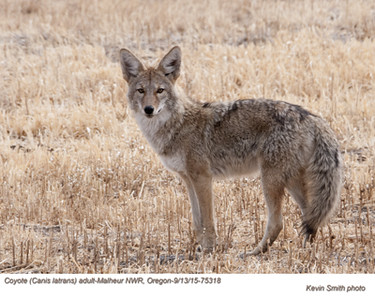 Coyote A75318