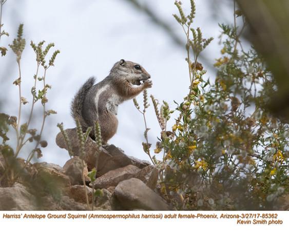 Harriss's Antelope Ground Squirrel F85362