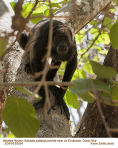 Mantled Howler A85524
