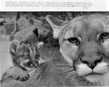 Mountain Lion & Cub