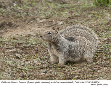 California Ground Squirrel A53234