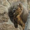 North American Porcupine A27171c