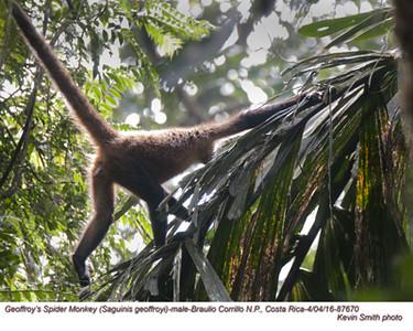 Geoffroy's Spider Monkey A87670