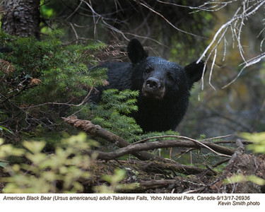 American Black Bear A26936