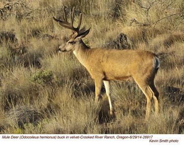 Mule Deer M26917
