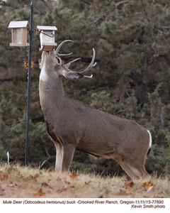 Mule Deer M77890