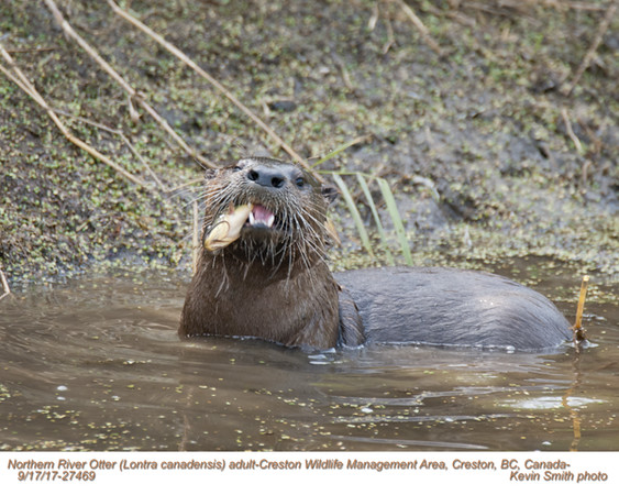 Northern River Otter A27469