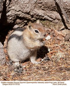 Golden-Mantled Ground Squirrel A75725