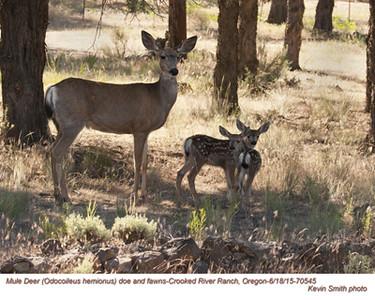 Mule Deer F&J70545