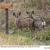 Mule Deer Fawns 75513