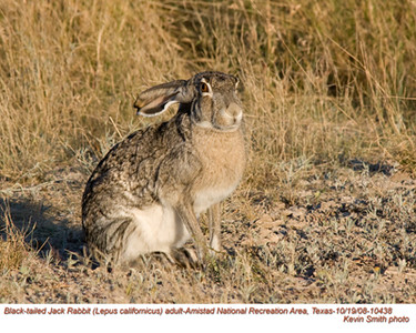 BlackTailedJackRabbit10438